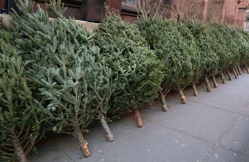 When the grocery store used to get live christmas trees delivered