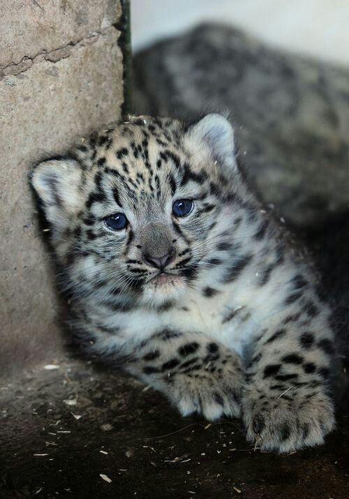 Baby Snow Leopard | Cute Amazing Animals | Pinterest