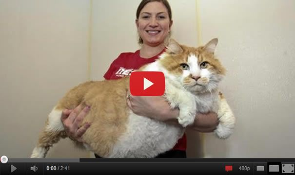 fattest cat in the world pictures to pin on pinterest