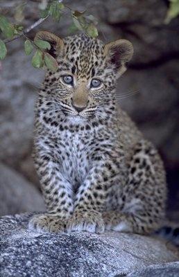 Leopard cub by Peter Chadwick