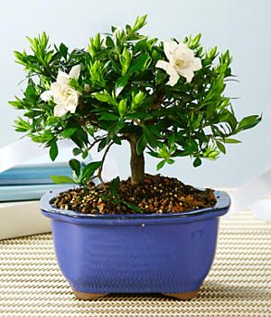 gardenia bonsai 1800flowers