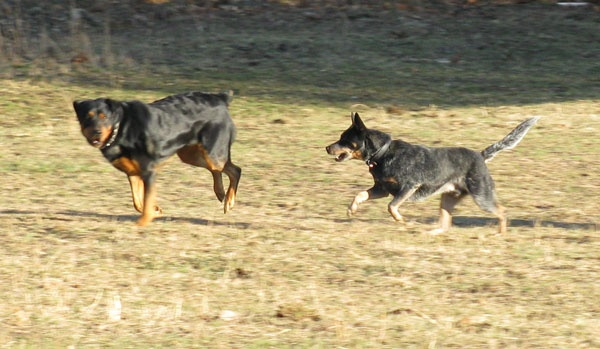 ... herd anything! | Working Farm Breeds ~ My Favorite Dogs! | Pinterest