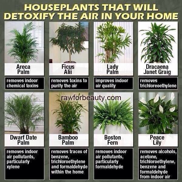 Detoxifying plants good health pinterest - Good household plants ...
