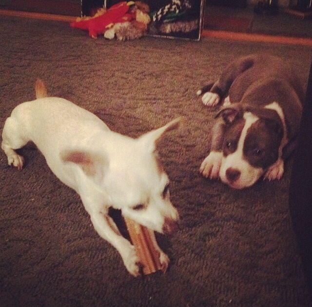 Chihuahuas Chihuahua X Pitbull