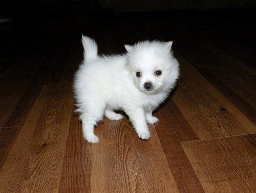 White Teacup Pomeranian | Pomeranians! | Pinterest