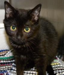 Domestic short hair black cat in canastota ny juniper is an adorable