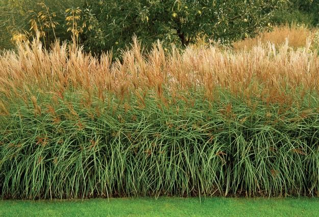 ornamental grass hedge buiten pinterest