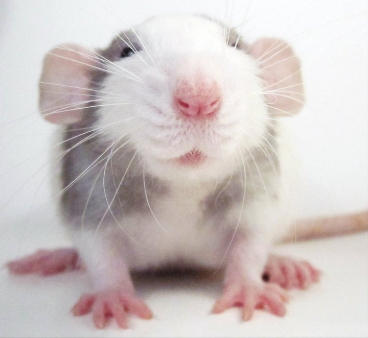 Cute baby dumbo rat - photo#1