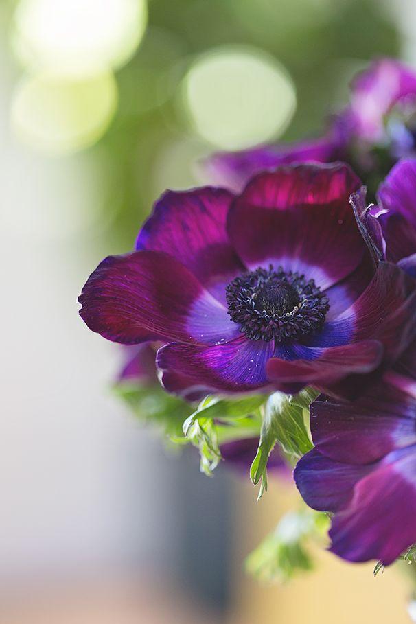 anemones Flowers Pinterest