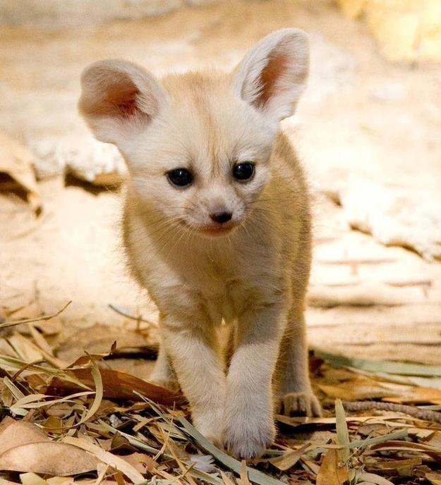 Baby Fennec fox   Fun & Cute   Pinterest Fennec Fox Newborn