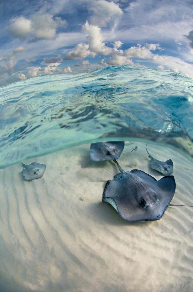 Stingray Beautiful sea creatures Pinterest