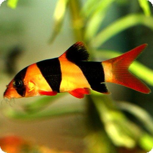 Clown loach freshwater aquarium fishes plants pinterest for Clown loach fish