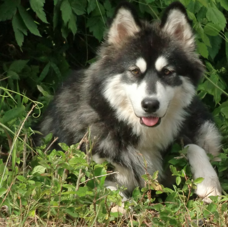 Husky and Malamute mix | Balanced Obedience | Pinterest