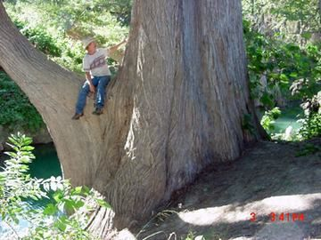 Largest Tree in Texas a Bald Cypress  Circumgerence 438' Height 96'