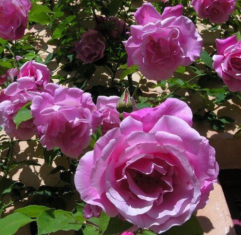 Zephirine Drouhin Rose Buy This Nearly Thornless Climbing Rose    Zephirine Drouhin Rose