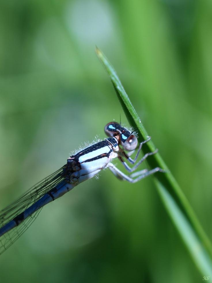 Dragonfly, macro pho