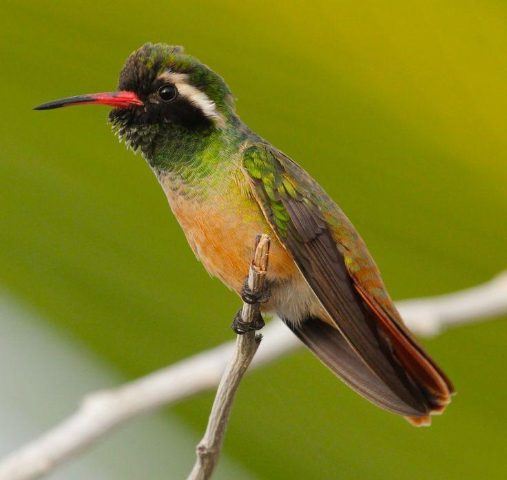 Xantus Xantus Hummingbird | H...