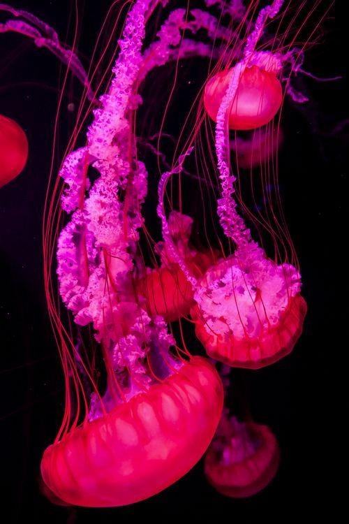 Neon pink jellyfish