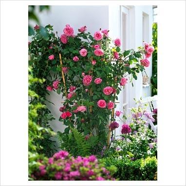 gertrude jekyll rose first impressions pinterest. Black Bedroom Furniture Sets. Home Design Ideas