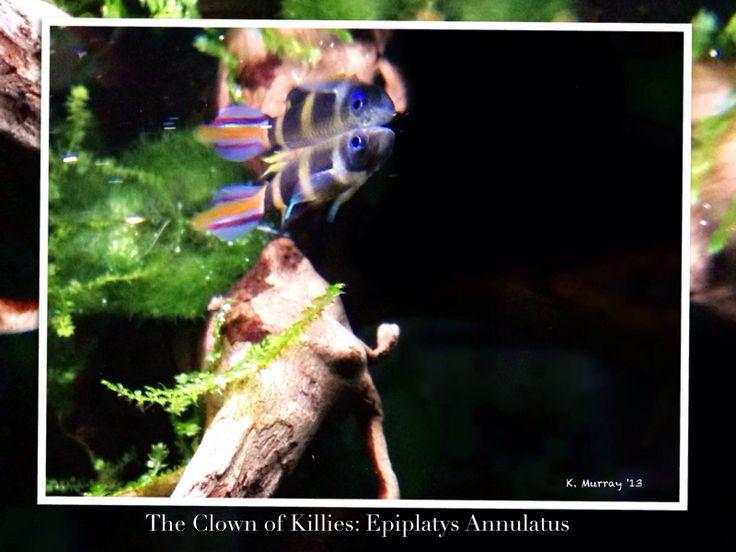 Clown Killifish : Clown killifish - top dweller Killifish Pinterest