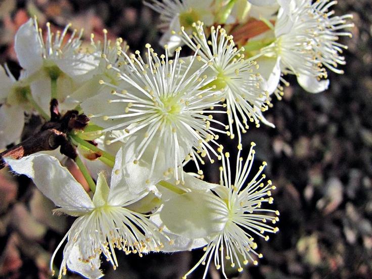 Flores de cagaita, árvore do Cerrado, Brasil