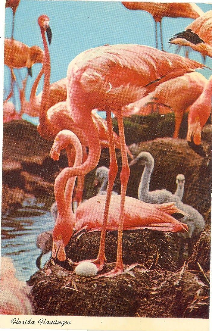 Vintage Florida Postcards Flamingos Hometown Pride