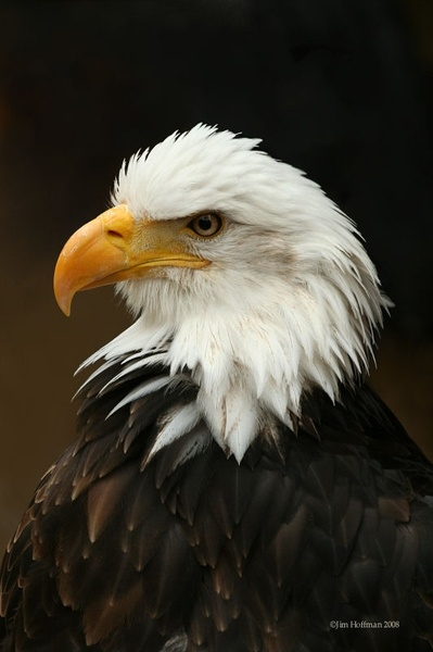 eagle pictures with american flag
