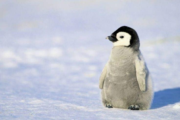 雪の上にたたずむペンギン
