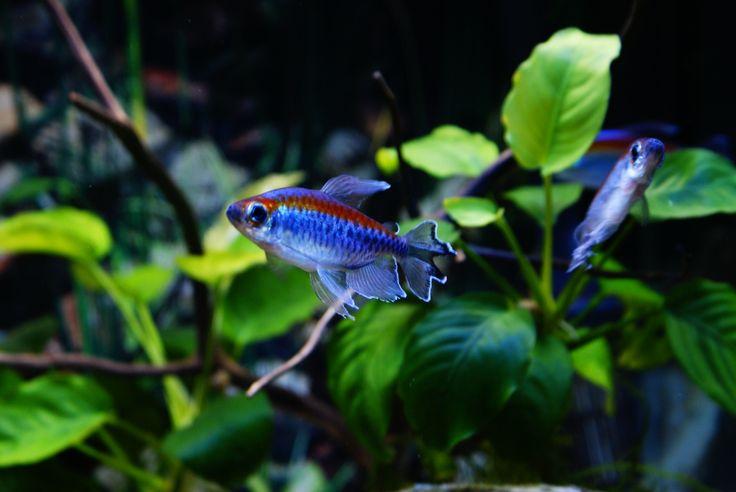 Congo tetras and rainbowfish.. Aquariums! Pinterest