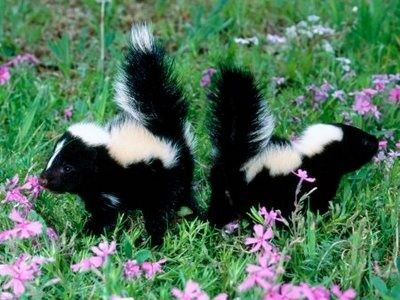 skunkies smelling flowers