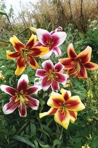 Giant hybrid lilies, grow 5-6 feet!