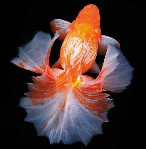 Veil tail koi and goldfish pinterest for Koi fish tail