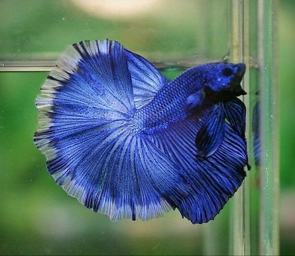 Blue butterfly dragon betta fighting fish pinterest for Butterfly betta fish