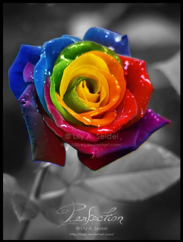 Pretty rainbow rose after the rain beauty in my eyes for Where to get rainbow roses