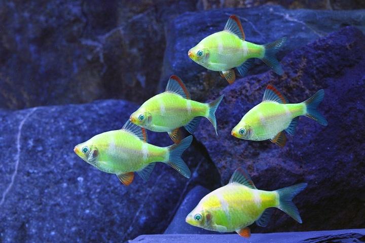 GloFish Barb : GloFish-Electric-Green-Barb- Sea Animals Pinterest