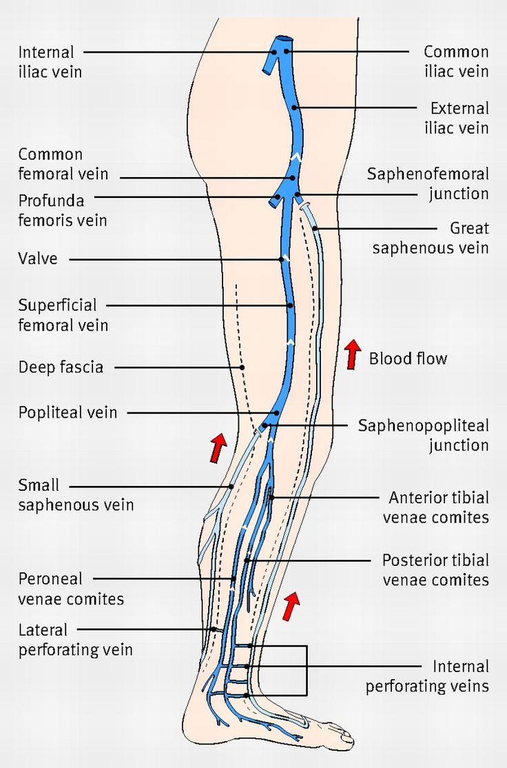 Vascular anatomy leg
