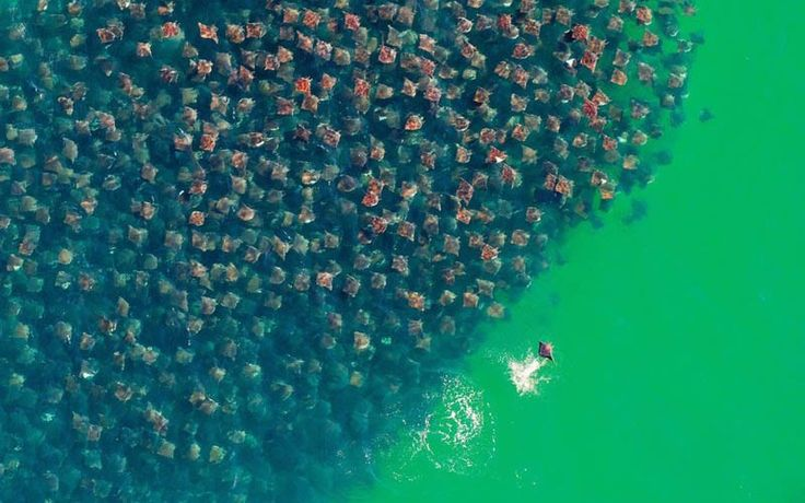 FLIGHT OF THE DEVIL RAYS: Sea of Cortez off the coast of Baja California in Mexico