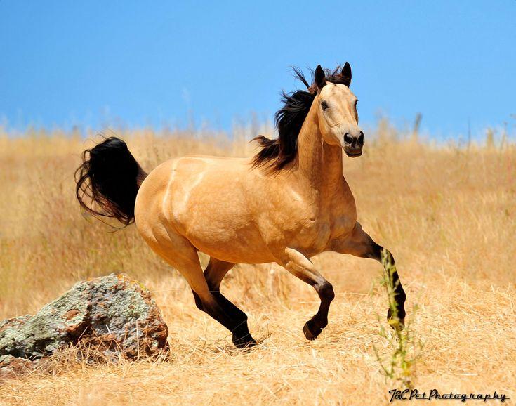 Buckskin horse ...