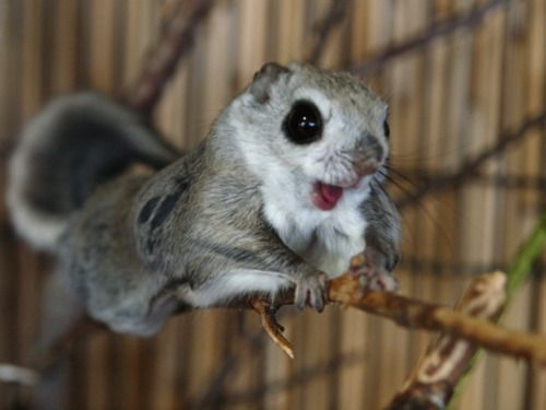Cute flying squirrels - photo#17