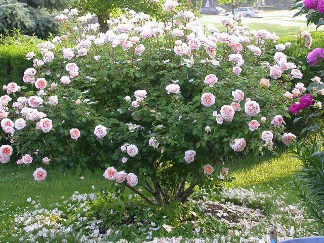 abraham darby david austin rose englische rosen david austin un. Black Bedroom Furniture Sets. Home Design Ideas