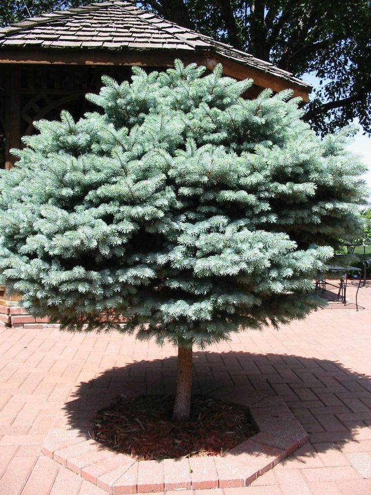 Blue spruce on standard trees for the midwest pinterest for Earl may nursery garden center