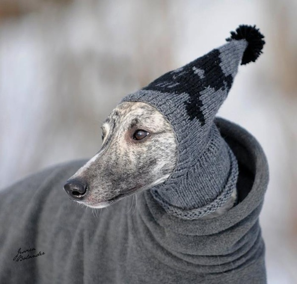 Knitting Patterns For Greyhound Dogs : greyhound sweater cool photos Pinterest
