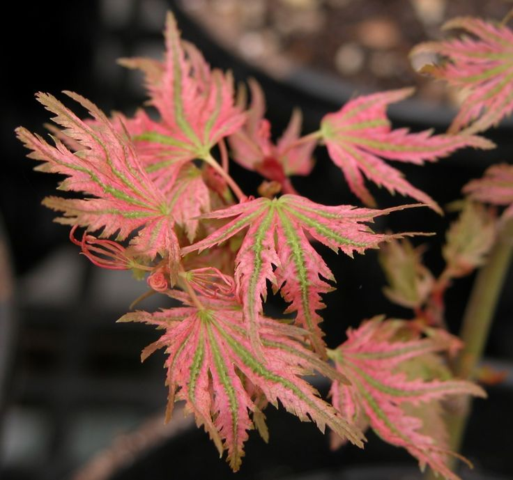 Abigail rose japanese maple tree garden plants japanese