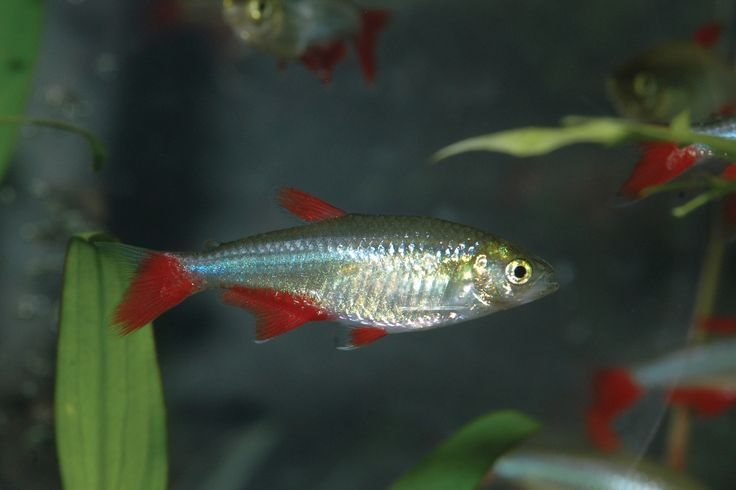 Bloodfin Tetra/Aphyocharax anisitsi) (Female, Males are smaller)
