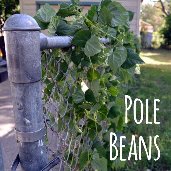 Pole beans vs bush beans great info about the differences and other