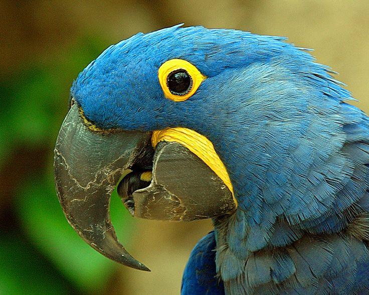 pin blue macaw bird - photo #2