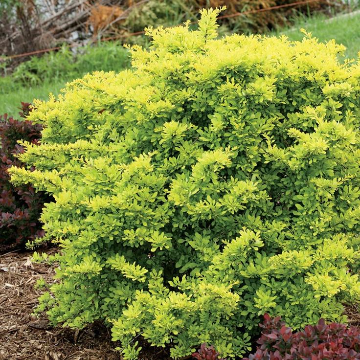 Sunjoy citrus berberis barberry shrub shrubs pinterest for Low maintenance foundation shrubs
