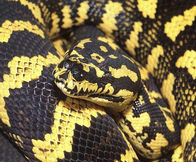 Jungle Carpet python  Animals  Pinterest