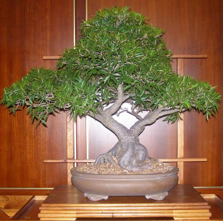 different types of bonsai trees seekyt bonsai pinterest