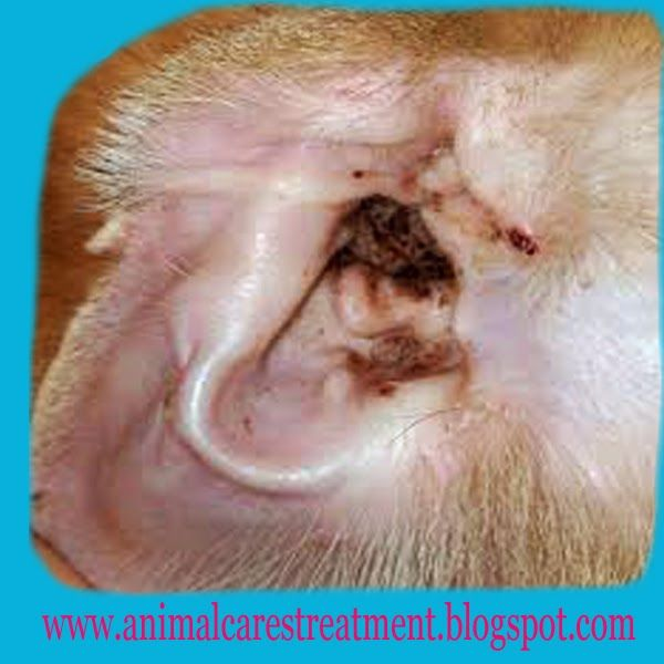 how to clean dog ear wax